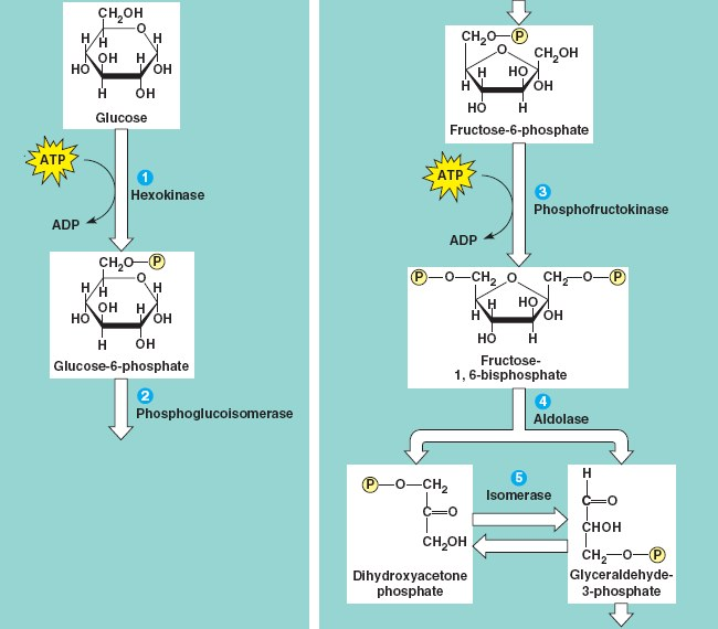 Cellular respiration glycolysis glycolysis ccuart Images