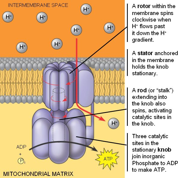atp synthase Atp synthase links two rotary motors to generate atp.