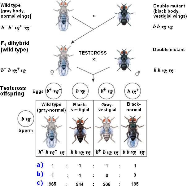 fruit fly dihybrid cross essay example Proactive essay writers  next, drag the correct allele combinations and the corresponding fly types to the  an example of a dihybrid cross is shown.