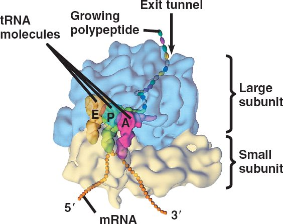 external image  Labeled Ribosome Structure