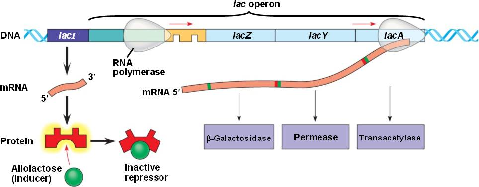 what is an inducible operon