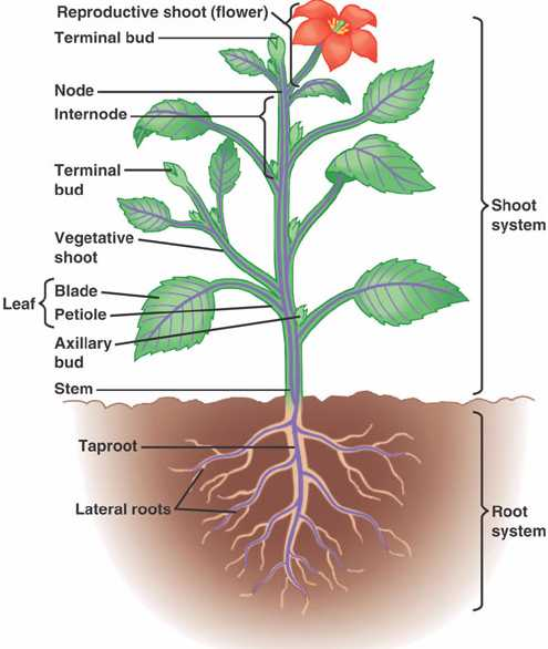Above is a diagram that details the anatomy of a typical angiosperm. (MR; Source 13)